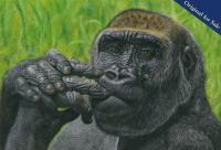 Alfie the gorilla. Part of the resident troop at Longleat Safari Park. PRINTS AVAILABLE.